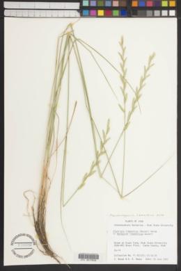 Pseudoroegneria libanotica image