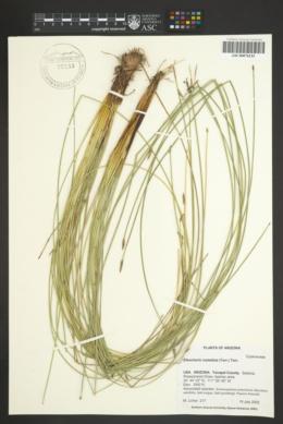 Eleocharis rostellata image