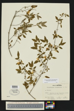 Image of Philadelphus ernestii