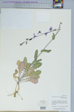 Image of Streptanthus platycarpus