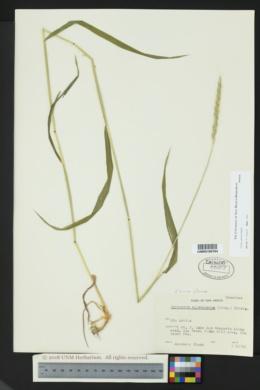 Elymus glaucus image