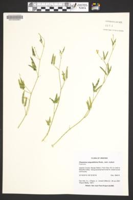 Phaseolus angustifolius image