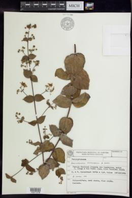 Banisteriopsis hatschbachii image