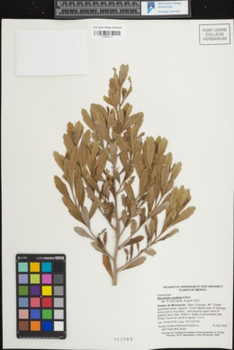 Image of Baccharis conferta