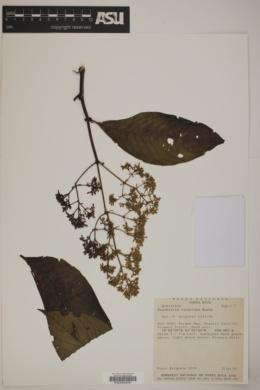 Psychotria luxurians image