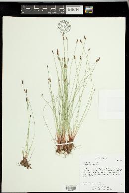 Eleocharis parishii image
