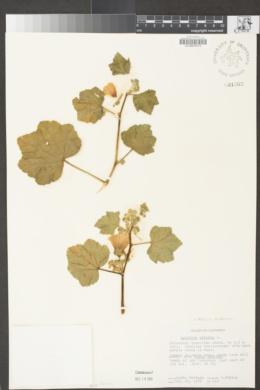 Malva arborea image