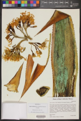 Agave turneri image