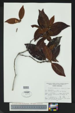 Image of Alibertia edulis