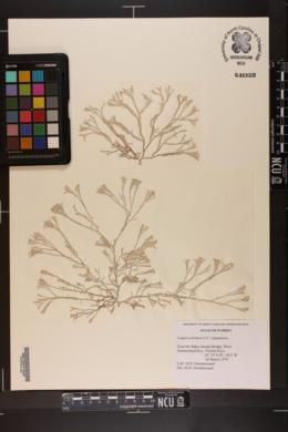 Ganonema farinosum image
