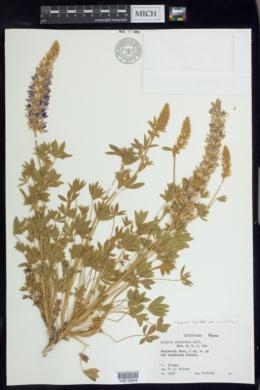 Lupinus lepidus var. confertus image