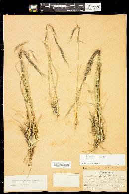 Aristida arizonica image