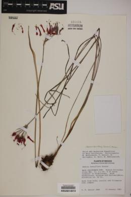 Bessera tenuiflora image