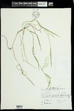 Torreyochloa fernaldii image