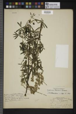 Lupinus neomexicanus image