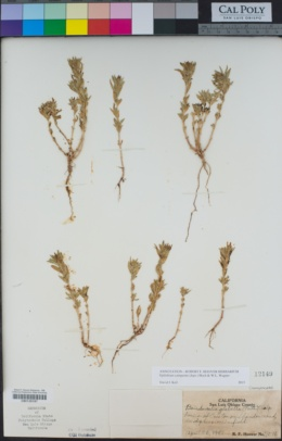 Epilobium campestre image