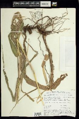 Image of Zea diploperennis