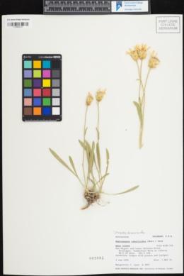 Image of Stenotus armerioides