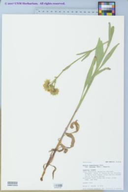Arnica chamissonis var. andina image