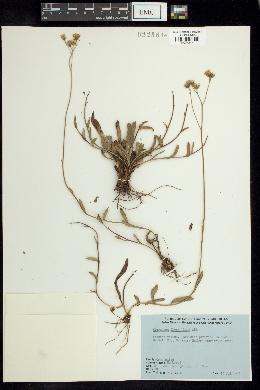 Hieracium piloselloides image