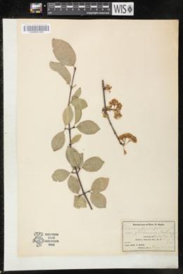 Viburnum prunifolium var. globosum image