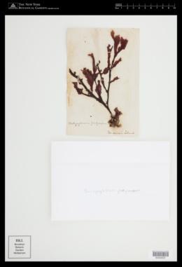 Botryoglossum platycarpum image