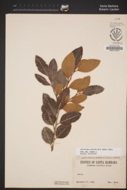Lithraea caustica image