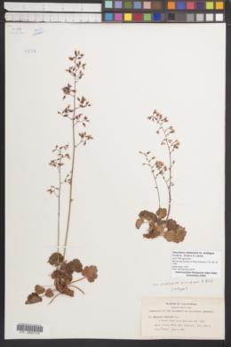 Image of Heuchera rubescens fo. ambigua