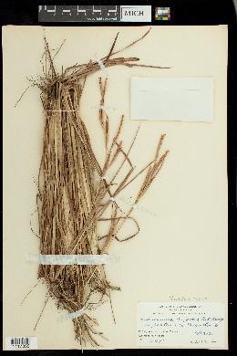 Image of Mnesithea rugosa