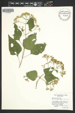 Chromolaena collina image
