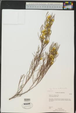 Senna artemisioides image