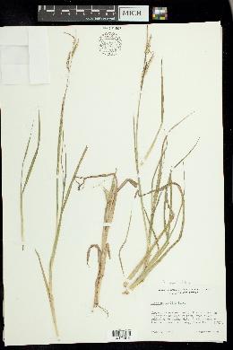 Paspalum denticulatum image