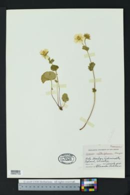Image of Geum calthifolium