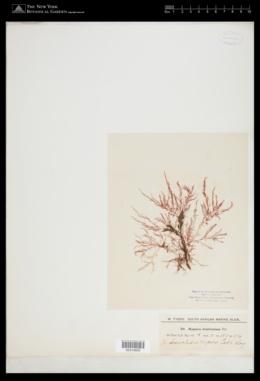 Image of Hypnea fruticulosa