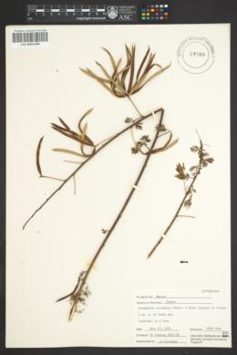 Desmanthus bicornutus image
