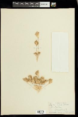 Image of Orcuttia tenuis