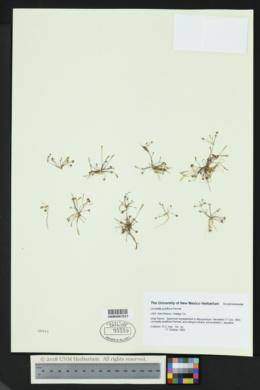Image of Limosella pubiflora