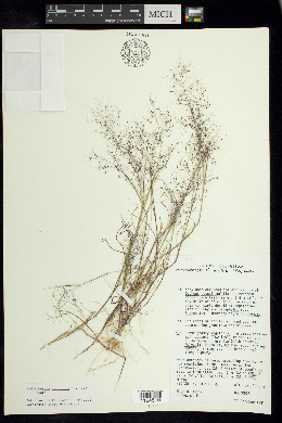 Muhlenbergia implicata image