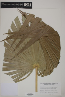 Coccothrinax argentata image