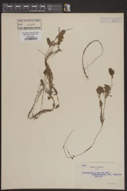 Image of Potamogeton dimorphus