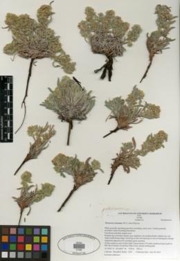 Image of Oreocarya mensana