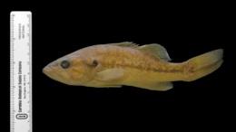 Micropterus punctulatus image