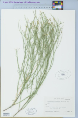 Stephanomeria pauciflora image