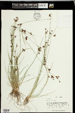 Image of Rhynchospora sulcata