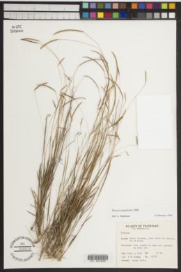Image of Thrasya paspaloides