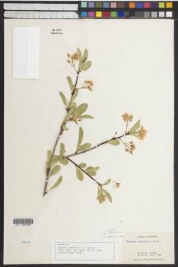 Image of Cerasus padifolia