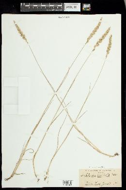 Koeleria pyramidata image