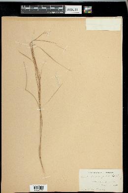 Andropogon gracilis image