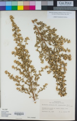 Baccharis pilularis image