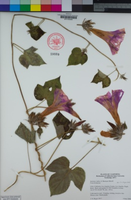 Image of Ipomoea indica